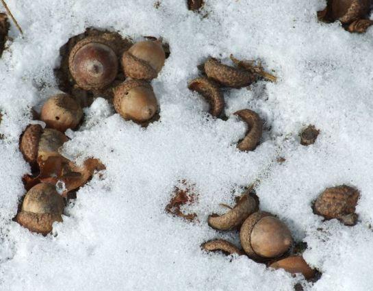 acornsx