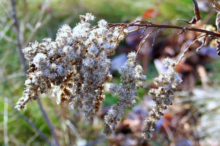 fall_goldenrod