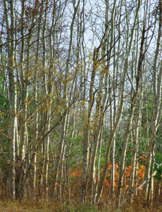 last_leaves_poplars