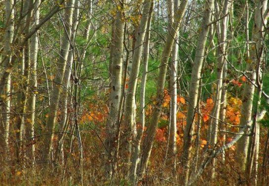 last_leaves_poplars_close
