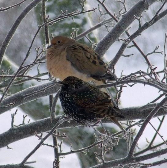 dove_starling