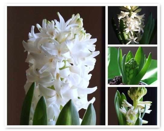 hyacinth_mosaic