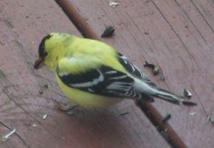 3xgoldfinch