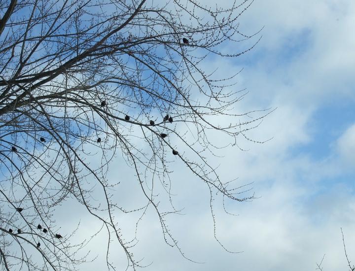 blue_sky_starlings