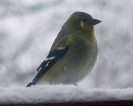 goldfinch_snow1