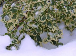 green_euonymus