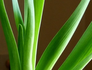green_hyacinths