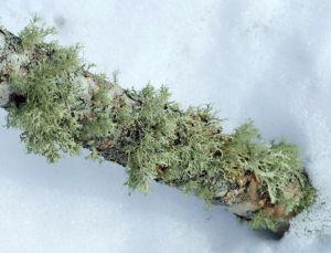 green_lichen