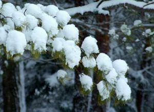 green_pine