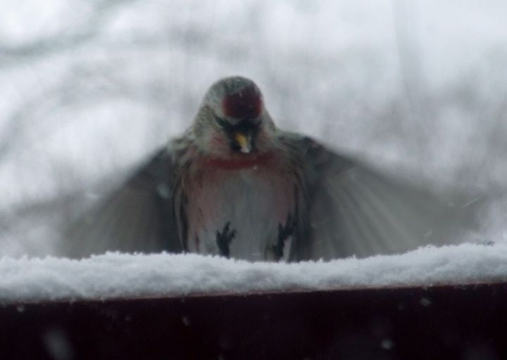 redpoll_incoming