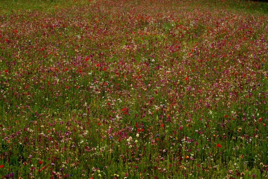 wildflower-meadow