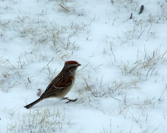 31_sparrow