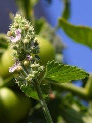 catnip-blossom
