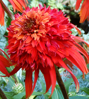 http://www.bhg.com/gardening/flowers/perennials/