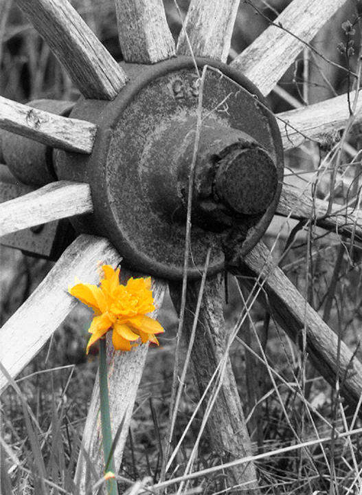 march_daffodil_wheel