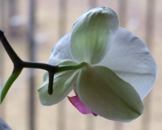 orchid2_back