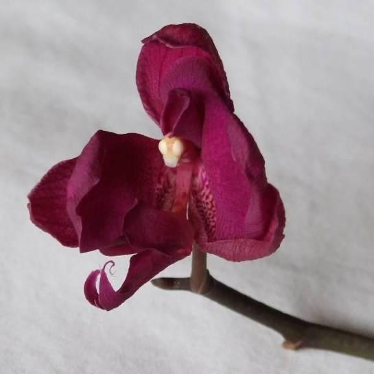 failed_orchid