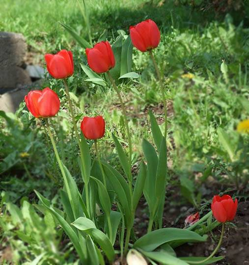 red_tulips3