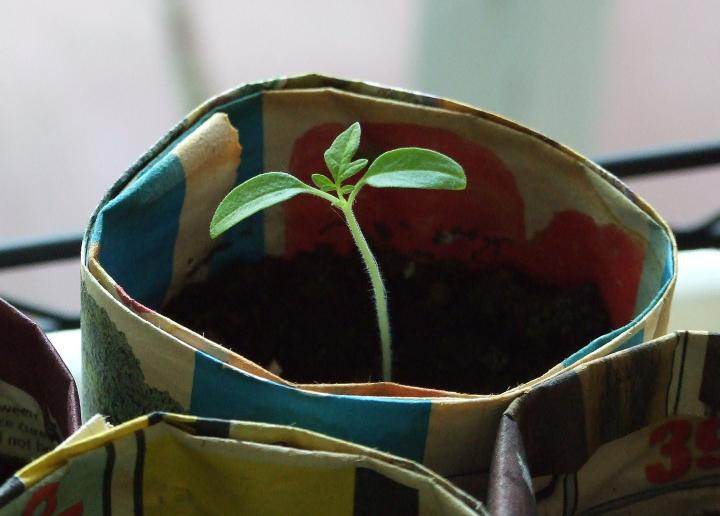 tomato_leaf