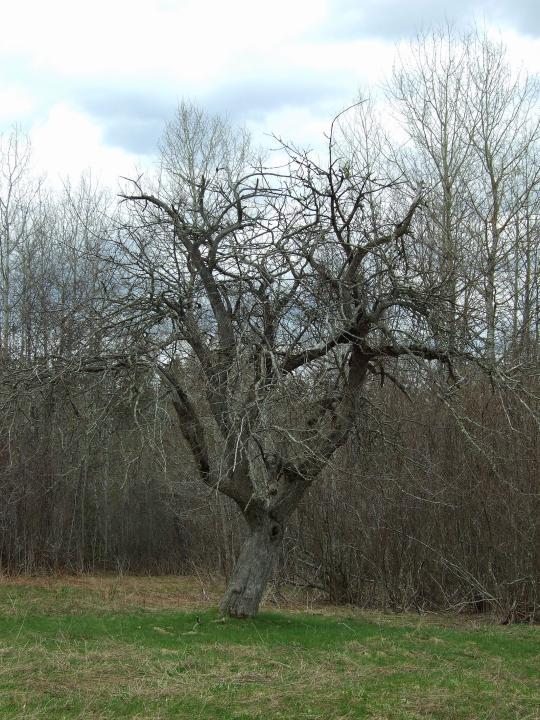 Lifeless trees...