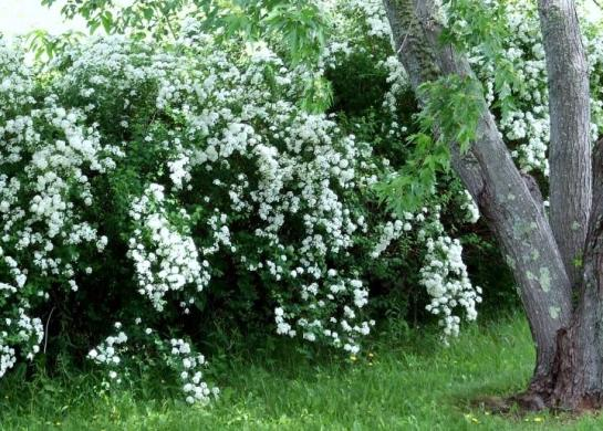 bridalwreath_hedge