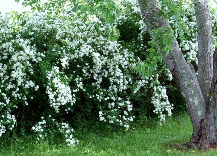 bridalwreath_hedge