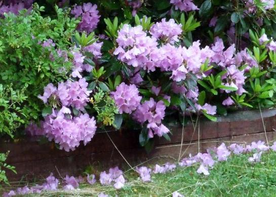 last_lavender