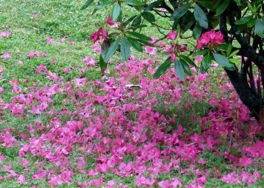 last_pink
