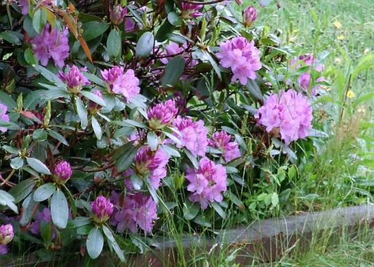 lavender_rhod