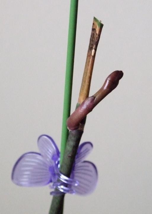 orchid_newgrowth