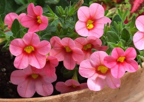 pink_cali