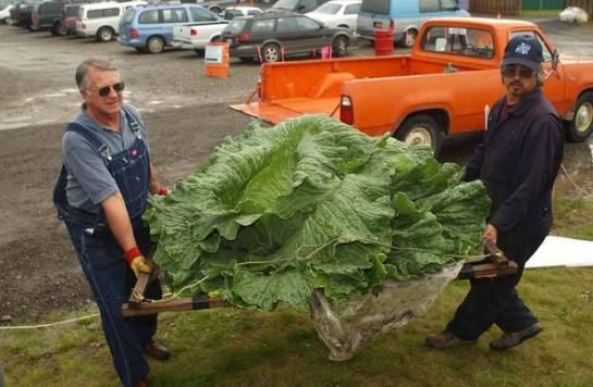 611-178-big-cabbage.standalone.prod_affiliate.23