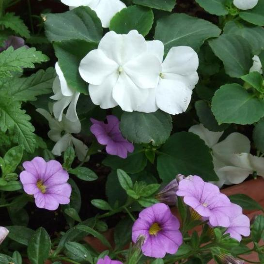 caliblue_impatiens