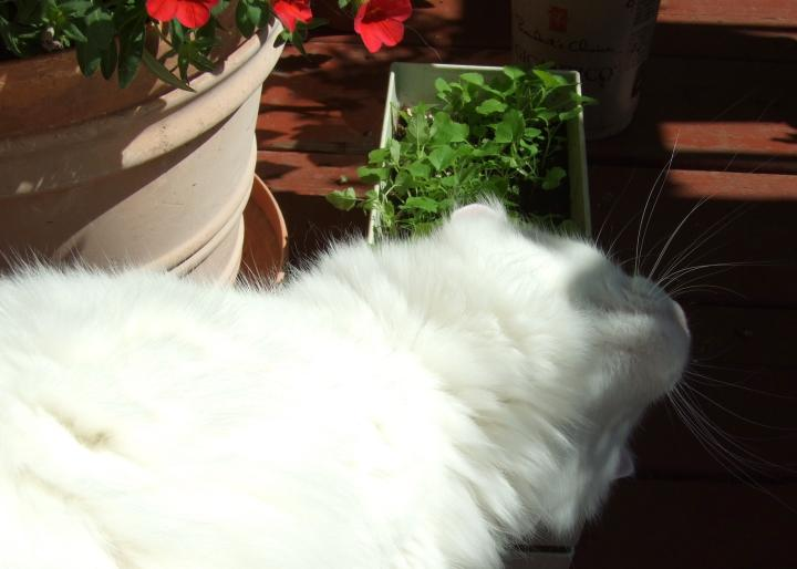 catmint_love2