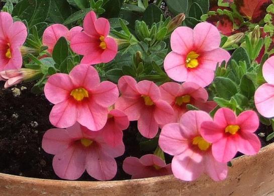 cali_pink