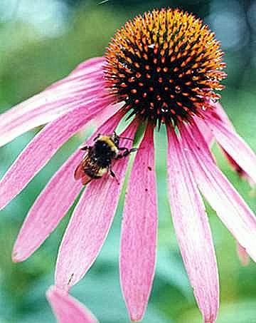 Coneflower and bee...