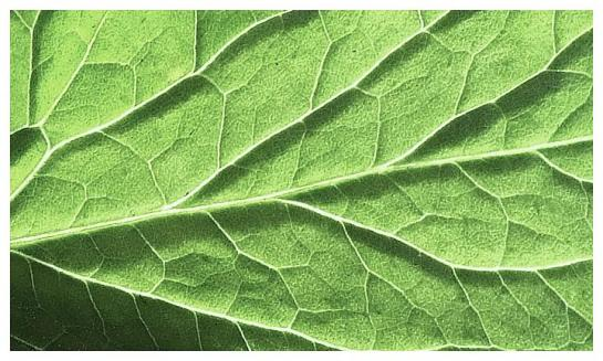 Backlit tomato plant leaf