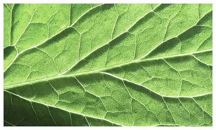 Backlit tomato plant leaf