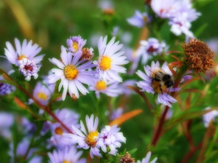 September asters...