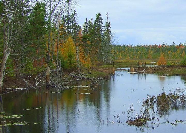 Three Mile Brook tamaracks