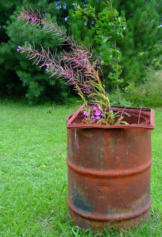 Fireweed in a burn barrel...