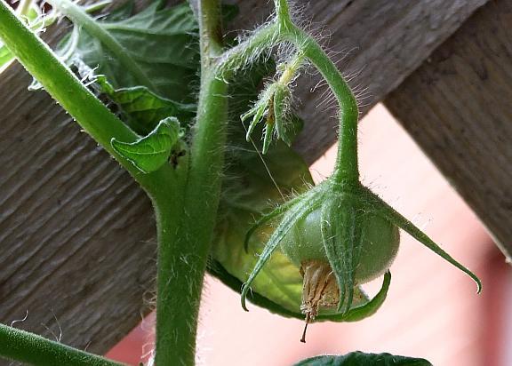small_tomato
