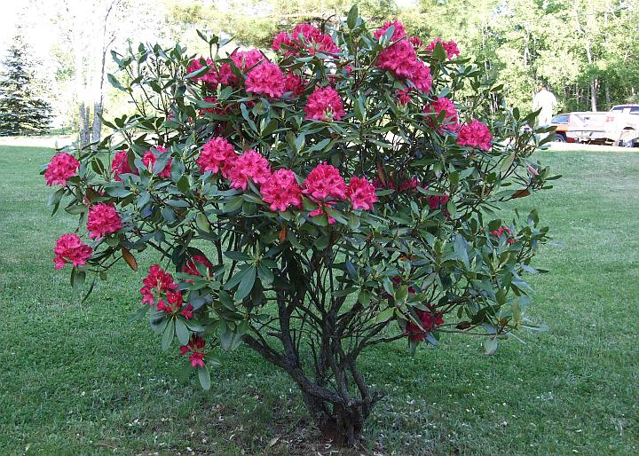 Lavender rhododendron for How to care for rhododendrons after blooming