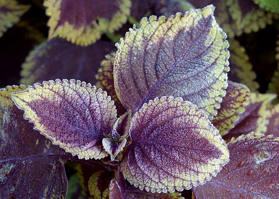 Coleus is even more beautiful after Jack Frost spread his magic.